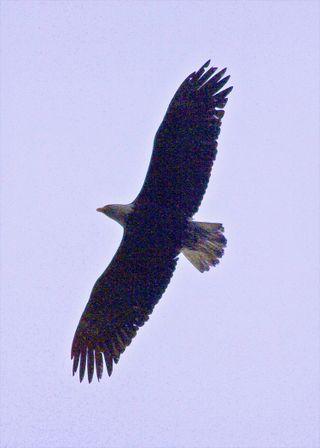 CWC2 Blog Eagle Kodiak Cropped_Resize