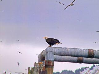 CWC2 Blog Eagle on pipe Kodiak _Resize