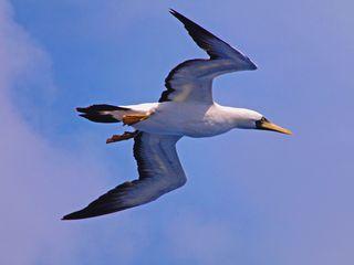 CWC2 Seagull Brazil